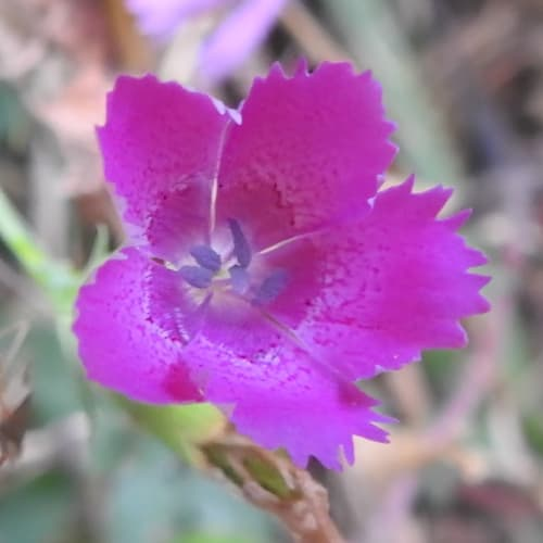 Dianthus seguieri - Caryophyllaceae