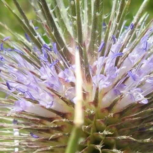 Dipsacus fullonum - Dipsacaceae