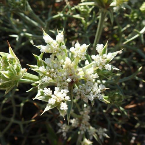 Echinophora spinosa - Apiaceae