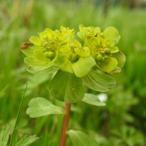 Euphorbia helioscopia - Euphorbiaceae