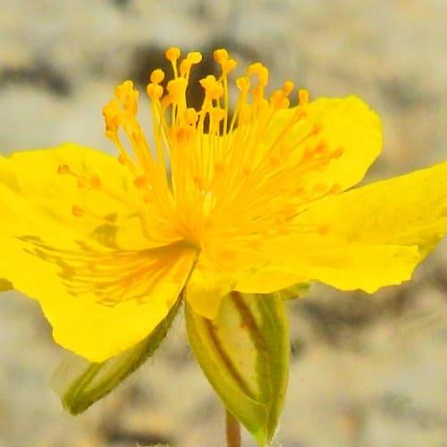 Helianthemum nummularium - Cistaceae