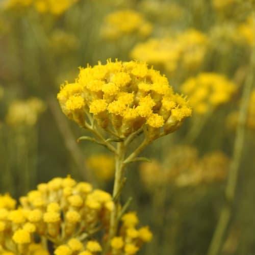 Helichrysum litoreum - Asteraceae