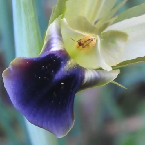 Hermodactylus tuberosus - Iridaceae