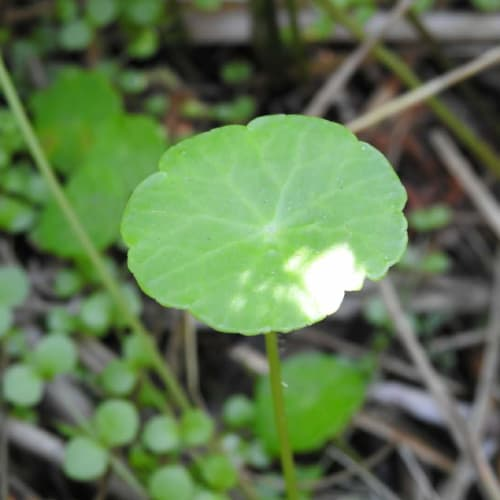 Hydrocotyle vulgaris - Araliaceae