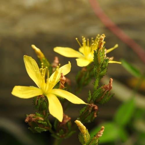 Hypericum montanum - Hypericaceae