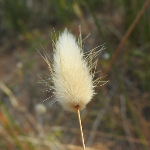 Lagurus ovatus - Poaceae