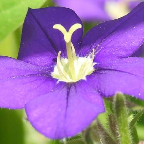 Legousia speculum-veneris - Campanulaceae