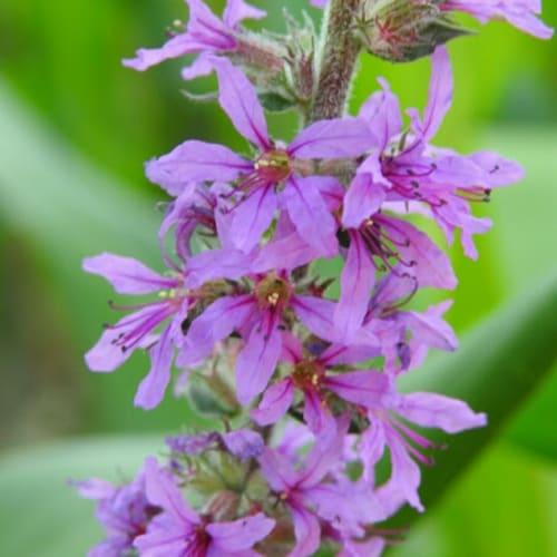 Lythrum salicaria - Lythraceae