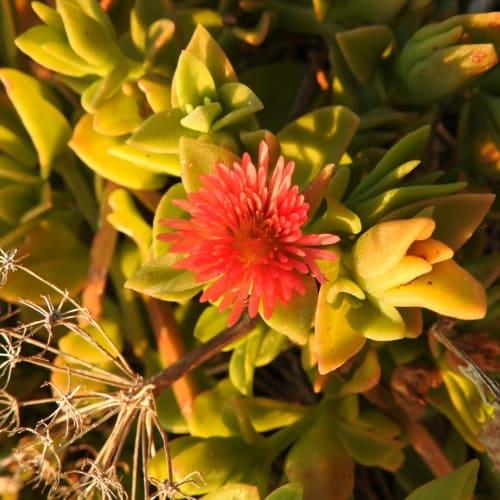 Mesembryanthemum cordifolium - Aizoaceae