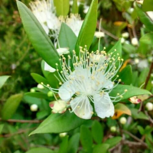 Myrtus communis - Myrtaceae
