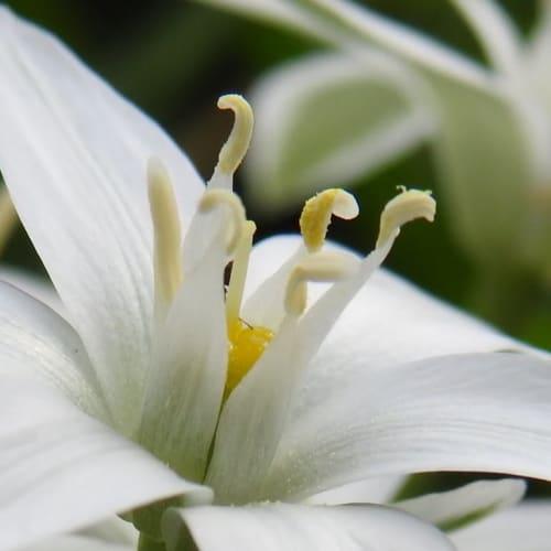 Ornithogalum umbellatum - Asparagaceae