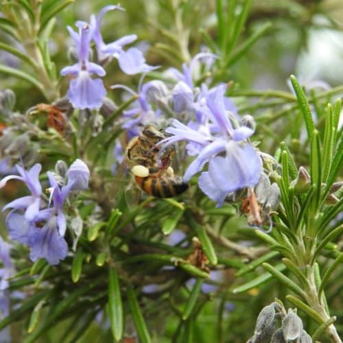 Salvia rosmarinus - Lamiaceae