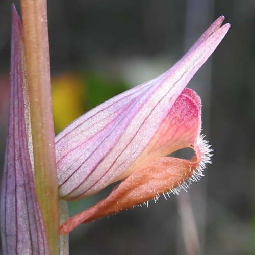Serapias vomeracea - Orchidaceae