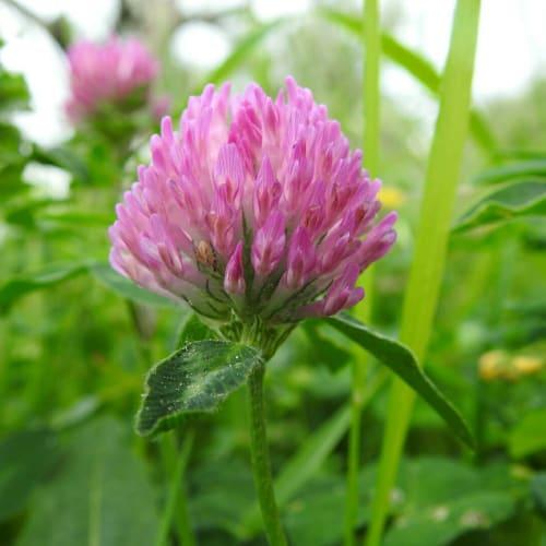Trifolium pratense - Fabaceae
