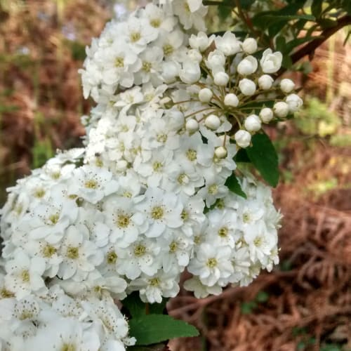 Viburnum lantana - Adoxaceae