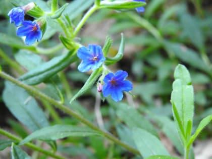 Aegonychon purpurocaeruleum - Boraginaceae