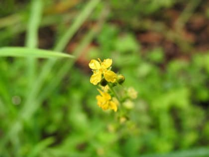 Agrimonia eupatoria - Rosaceae