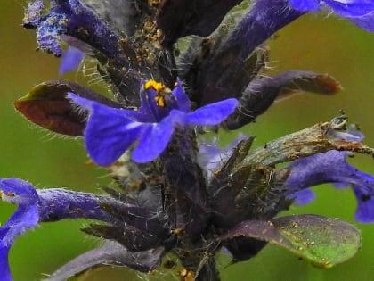 Ajuga reptans - Lamiaceae