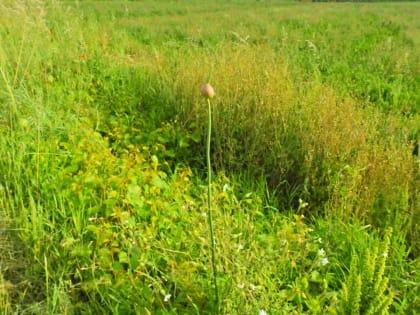 Allium ampeloprasum - Amaryllidaceae