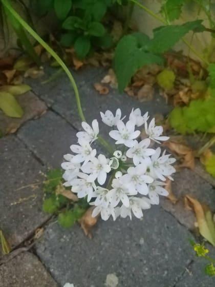Allium neapolitanum - Amaryllidaceae