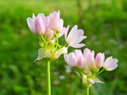 Allium roseum - Amaryllidaceae