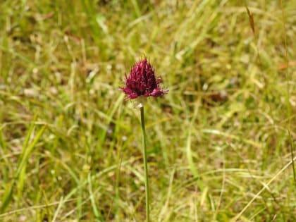 Allium sphaerocephalon - Amaryllidaceae