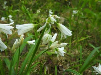 Allium triquetrum - Amaryllidaceae