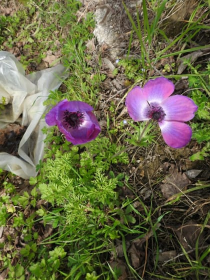 Anemone coronaria - Ranunculaceae
