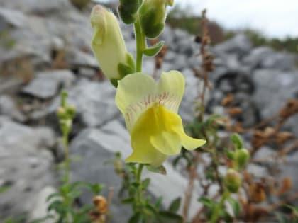 Antirrhinum latifolium - Plantaginaceae