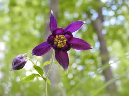 Aquilegia atrata - Ranunculaceae