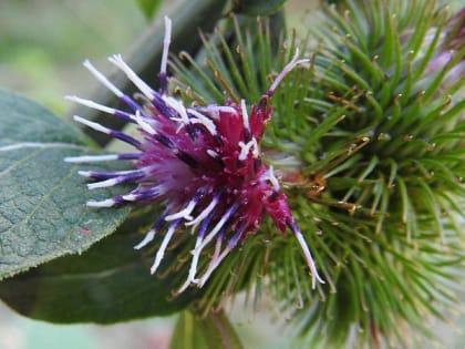 Arctium lappa - Asteraceae
