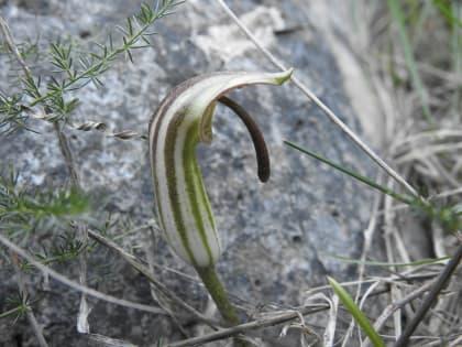 Arisarum vulgare - Araceae