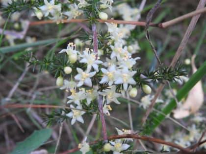 Asparagus acutifolius - Asparagaceae