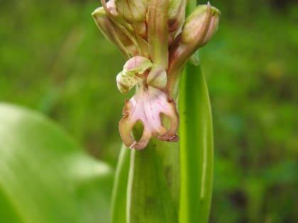 Barlia robertiana - Orchidaceae