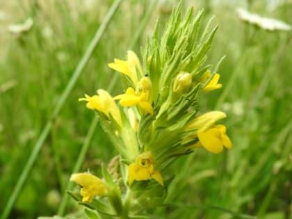 Bellardia viscosa - Orobanchaceae