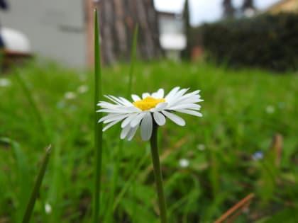 Bellis perennis - Asteraceae