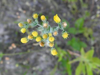 Blackstonia perfoliata - Gentianaceae