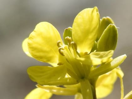 Brassica nigra - Brassicaceae