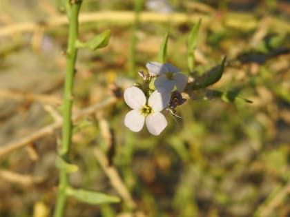 Cakile maritima - Brassicaceae