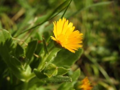 Calendula arvensis - Asteraceae