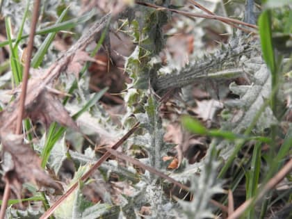 Carduus pycnocephalus - Asteraceae