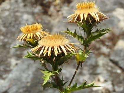 Carlina corymbosa - Asteraceae