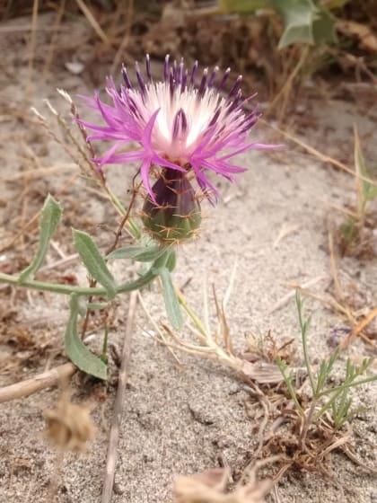 Centaurea calcitrapa - Asteraceae