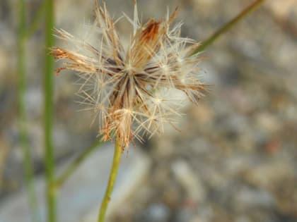 Centaurea paniculata - Asteraceae