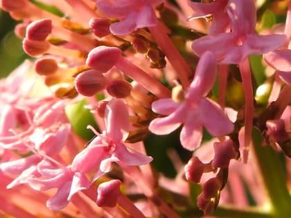 Centranthus ruber - Valerianaceae