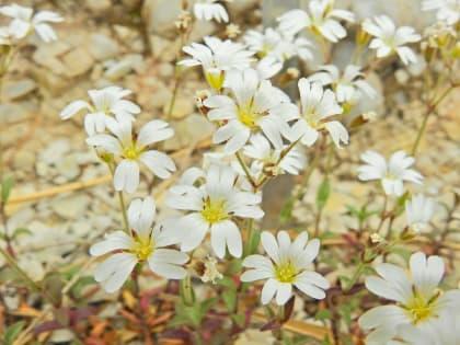 Cerastium apuanum - Asteraceae