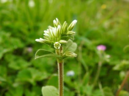 Cerastium glomeratum - Caryophyllaceae