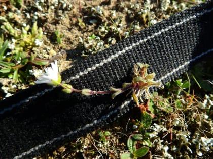 Cerastium semidecandrum - Caryophyllaceae