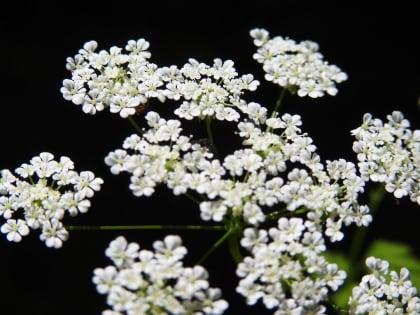 Chaerophyllum temulum - Apiaceae