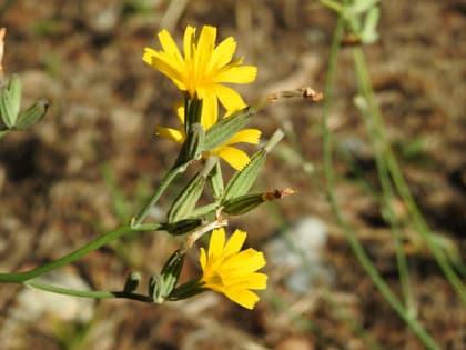 Chondrilla juncea - Asteraceae
